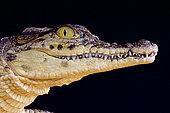 Portrait de Crocodile du Nil (Crocodylus niloticus), Afrique