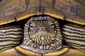 Portrait of Map turtle (Graptemys ouachitensis)