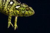 Malagasy Giant Chameleon (Furcifer oustaleti), Madagascar