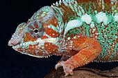 Portrait of Panther Chameleon (Furcifer pardalis) male, Madagascar