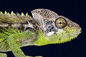 Portrait of Warty Chameleon (Furcifer verrucosus), Madagascar