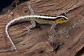 Striped dwarf gecko (Gonatodes vittatus), Aruba, Dutch Antilles