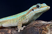 Reunion island day gecko (Phelsuma borbonica), Reunion island