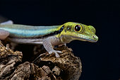 Yellow-headed day gecko (Phelsuma klemmeri), Antsatsaka, Madagascar