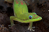 Gold dust day gecko (Phelsuma laticauda), Madagascar