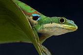 Phelsuma quadriocellata, Peacock day gecko, Madagascar