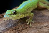 Merten's Day gecko (Phelsuma robertmertensi), Mayotte Island, Comoros