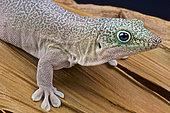 Standing's day gecko (Phelsuma standingi), Madagascar