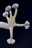 Gecko à doigts en éventail (Ptyodactylus hasselquistii) pied, Egypte