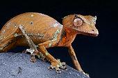 Satanic leaf-tailed gecko (Uroplatus phantasticus), Madagascar