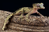 Cork-bark gecko (Uroplatus pietschmanni), Madagascar