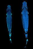 Velvet bellies (Etmopterus spinax) bioluminscent flanks and abdomen