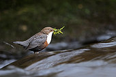 White-throated Dipper (Cinclus cinclus) beside a river with materiel to build its nest, Vaud, Switzerland