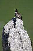 Ring Ouzel (Turdus torquatus), scratching on rock, Valais Alps, Switzerland.