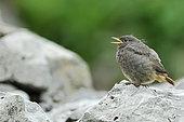Young Common Redstart (Phoenicurus phoenicurus), Valais, Switzerland