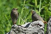 Common Redstart (Phoenicurus phoenicurus) and young, Valais, Switzerland