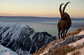 Alpine ibex (Capra ibex) male and summits, Valais Alps, Switzerland.