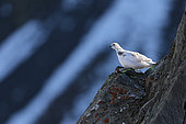 Rock Ptarmigan ( Lagopus mutus ) female in the Valais Alps , Switzerland. Autumn moult change.