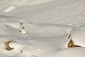 Mountain Hare ( Lepus timidus ) running in intermediate coat , brown and white beginning of winter in the snow, Alps , Switzerland.