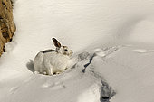 Mountain Hare ( Lepus timidus ) intermediate coat , brown and white beginning of winter in the snow, Alps , Switzerland.