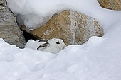 Mountain Hare ( Lepus timidus ) in white coat early winter in the snow, Alps , Switzerland.