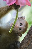 Jeune macaque à toque mordillant une offrande posée dans un temple au coeur de la jungle Sri Lankaise.