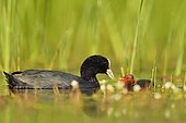 Coot (Fulica atra) feeding its young - Dombes, France