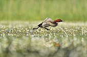 Common Pochard (Aythya ferina) male flying away water among flowers - Dombes, France
