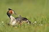 Great Crested Grebe (Podiceps cristatus) giving a pen to his young, Dombes, France