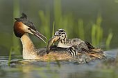 Great Crested Grebe (Podiceps cristatus) feeding its young, Dombes, France