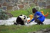 Giant Panda (Ailuropoda melanoleuca) and keeper, Chengdu Panda Base, Sichuan, China