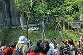 Giant Panda (Ailuropoda melanoleuca),captive,babies installed outside on a blanket,with a keeper videotaperResearch Base of Giant Panda Breeding or Chengdu Panda Base, Sichuan, China
