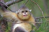 Yunnan Snub-nosed Monkey (Rhinopithecus bieti),young in a tree, Yunnan Province, China, Yunnan, China