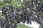 Chauves-souris géantes dormant dans les arbres, attention aux passants.
