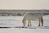 Cheval islandais grattant la neige pour se nourrir.