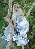 Macaque à toque s'amusant après avoir piqué le parapluie d'un touriste.