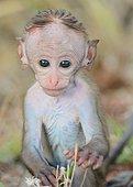 Jeune macaque à toque découvrant le monde, au Sri Lanka.