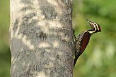 Pic du Bengale jouant à cache-cache derrière un arbre en fin de journée, au Sri Lanka.