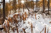 Première neige au mois d'octore sous le mélézin dans le bois des Amoureux à Molines. Queyras, Hautes-Alpes.