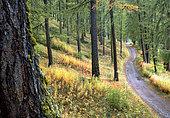 Le chemin des Amoureux à Molines-en-Queyras, Hautes-Alpes, dans la forêt de mélèzes à la fin du mois de septembre. Les épilobes ont déjà leurs couleurs d'automne, les mélèzes commencent à virer.