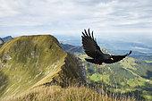 Alpine Chough (Pyrrhocorax graculus), in flight, approaching, Pilatus, Luzern, Canton of Lucerne, Switzerland, Europe