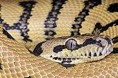 Eastern carpet python (Morelia spilota mcdowelli), Australia