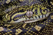 Diamand python (Morelia spilota spilota), Australia