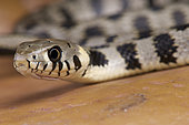 Milos grass snake (Natrix natrix schweizeri), Milos island,Greece, critically endangered.