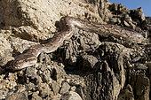Python d'Angola (Python anchietae), Nord Namibie