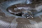 Python de Bornéo (Python curtus breitensteini), Kalimantan