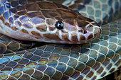 Sunbeam snake (Xenopeltis unicolor), Thailand