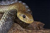 Aesculapian snake (Zamenis longissimus), France (previously longissima)