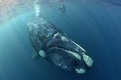 Plongeur filmant le passage d'une Baleine franche australe (Eubalaena australis) et son petit au large de Port Saint-John, Afrique du Sud