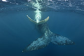 White southern right whale calf swimming with its mother, Port St-Johns, South Africa